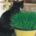Benih Cat Grass Oat 2 Gr Biji – Non Retail