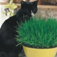 Cat Grass Oat