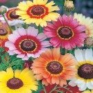 Chrysanthemum Rainbow Mixed