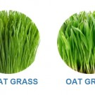 Cat Grass Wheat