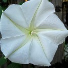 White Moonflower