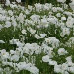 Benih Bridal Silk Poppy 50 Biji – Non Retail