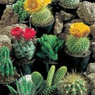 Cactus Superfine Mixed