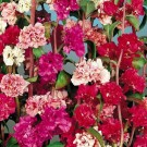 Clarkia Double Mixed
