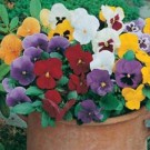 Pansy Special Early Flowering