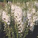 Benih Verbascum Flush of White 10 Biji – Non Retail