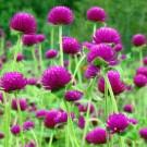 Bunga Kancing (Kenop)