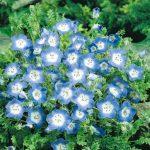 Benih Nemophila Baby Blue Eyes 50 Biji – Non Retail