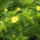 Bunga Pukul Empat Kuning