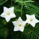 Cypress Vine (White)
