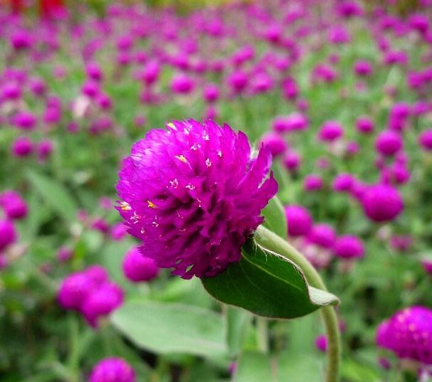 gomphrena-flower
