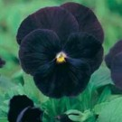 Pansy Blackjack