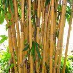 Tanaman Bambu Kuning Besar