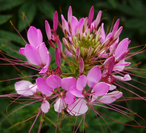 cleome-spider-plant