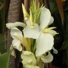 Tanaman Kana Ivory