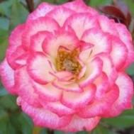 Tanaman Mawar Pink Carousel
