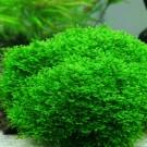 Mini Pellia (Coral Moss)