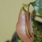 Nepenthes x Trichocarpa Pink