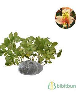 Tanaman Peruvian Lily