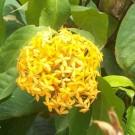 Tanaman Soka Kuning (Yellow Ixora)