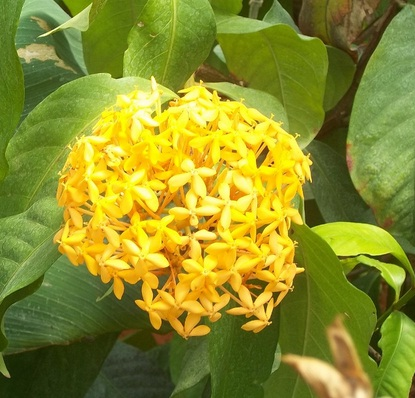 yellow-ixora