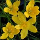 Tanaman Zephyranthes Kuning