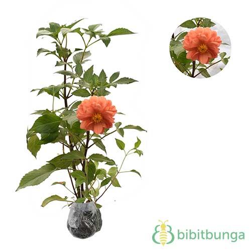 Tanaman Dahlia Mini Orange White