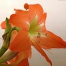 Tanaman Amarilis Dutch Orange