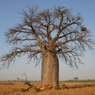 Tanaman Baobab Za