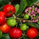 Tanaman Barbados Cherry