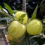 Benih Bunga Balon (Hairy Balls Flower) 5 Biji – Non Retail