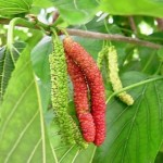 Tanaman Long Mulberry