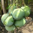 Tanaman Mangga Apel