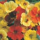 Nasturtium Tip Top Mixed