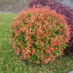 Benih Pucuk merah (Syzygium oleana) 20 Biji – Non Retail