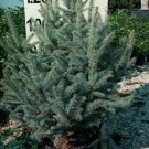 Tanaman Silver Pine