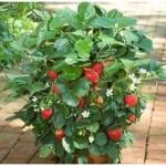 Tanaman Strawberry Earlibrite