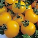 Tomat Golden Sunrise