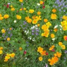 Wildlife Friendly (Annuals) Mixed