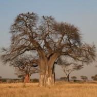 Baobab (Adansonia Digitata)