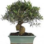 Benih Zaitun (Olive Tree) 1 Biji – Non Retail