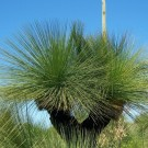 Grasstree (Balga/Blackboy)