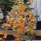 Shantung Maple