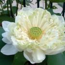 White Roseum Lotus