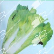 Winon Seed Kotsai Santoh 5 Pcs