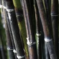 Tanaman Bambu Hitam