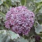 Brokoli Early Purple Sprouting