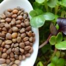 Microgreens Lobak (Radish)
