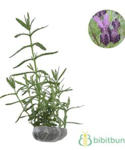 Tanaman Lavender French