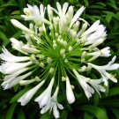 Tanaman Agapanthus Putih (White African Lily)
